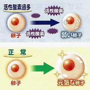 卵子と活性酸素